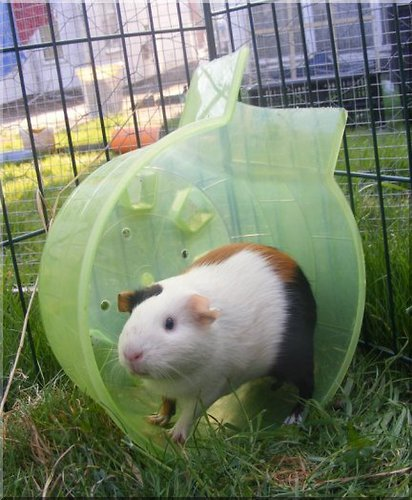how to train a guinea pig to come when called