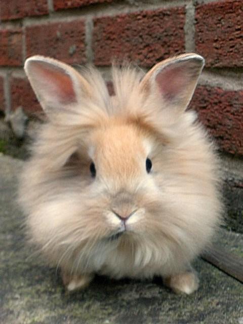 Lionhead Rabbit - Fuzzy Today