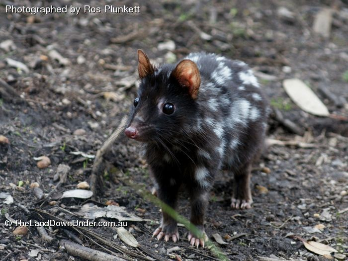 Black Eastern Quoll_1068