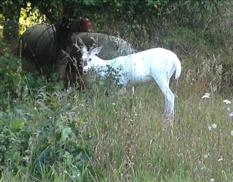 White Deer 3