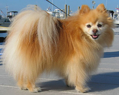 We are looking at a cross of a Pomeranian: