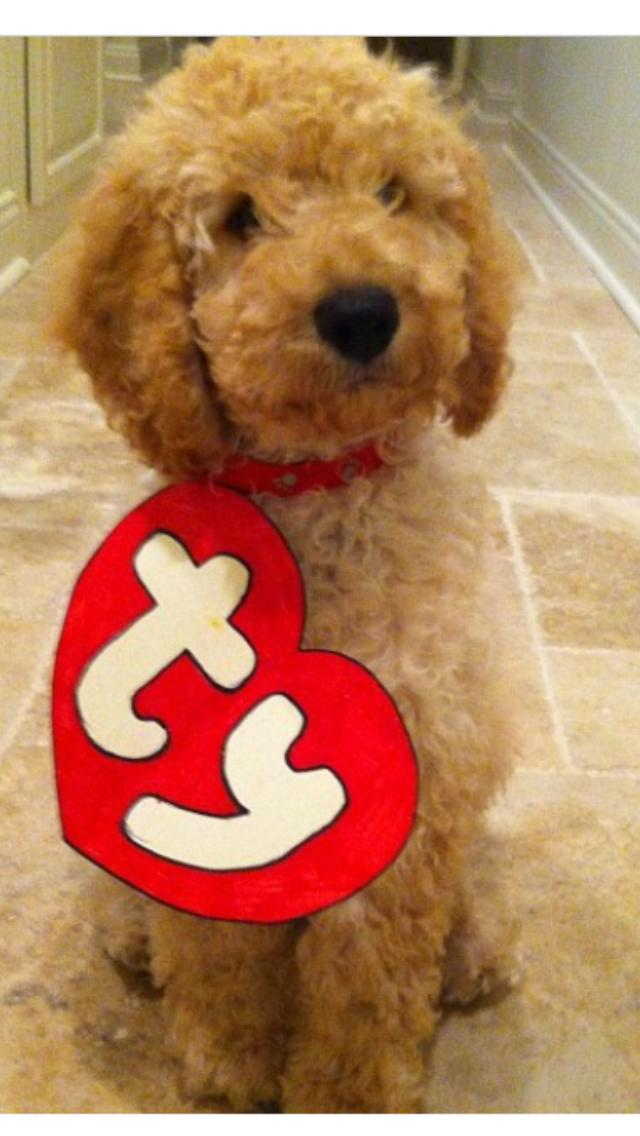 b5423f26082 Dog dressed as a TY Beanie Baby  4zP3E5Q