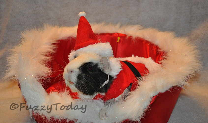 Merry Christmas! Guinea Pig Style | Fuzzy Today