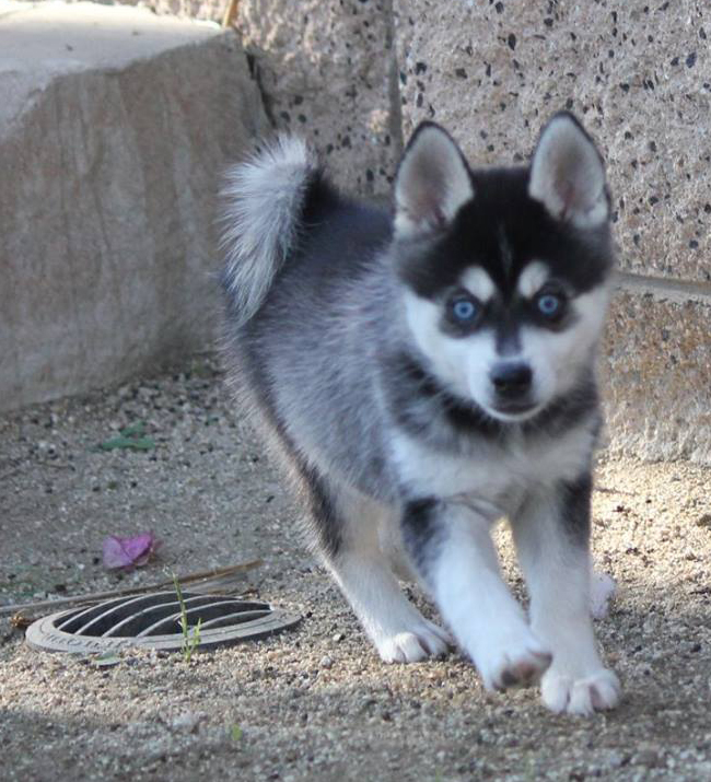 Pomsky With Blue Eyes Here are images of klee kai