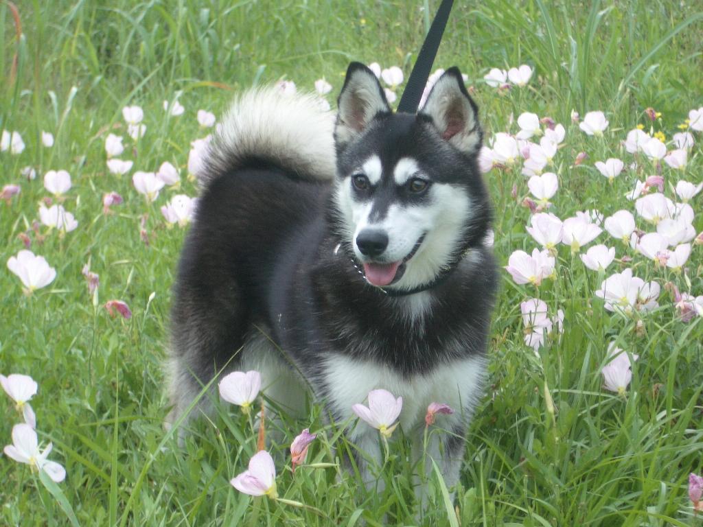 Alaskan Klee Kai Full Grown White Alaskan klee kai