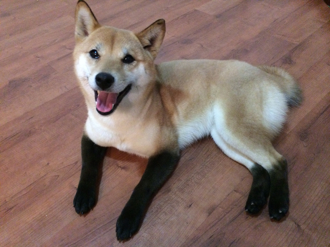 Today we feature a Shiba Inu