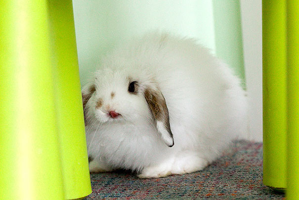cute-bunnies-tongues-19