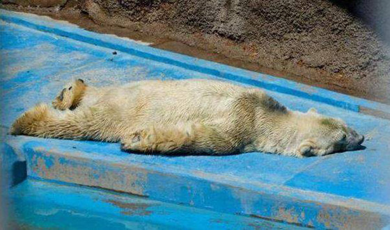 rs_560x331-140715100907-560-2arturo-polar-bear-argentina.ls.71514