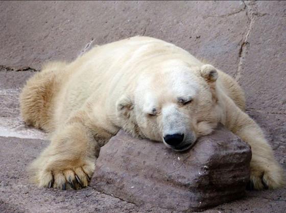 rs_560x418-140715100910-560-3arturo-polar-bear-argentina.ls.71514