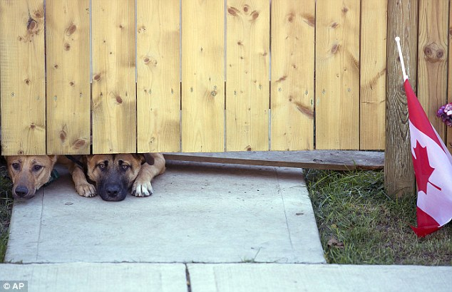 1414099945723_Image_galleryImage_Dogs_peek_out_from_under_