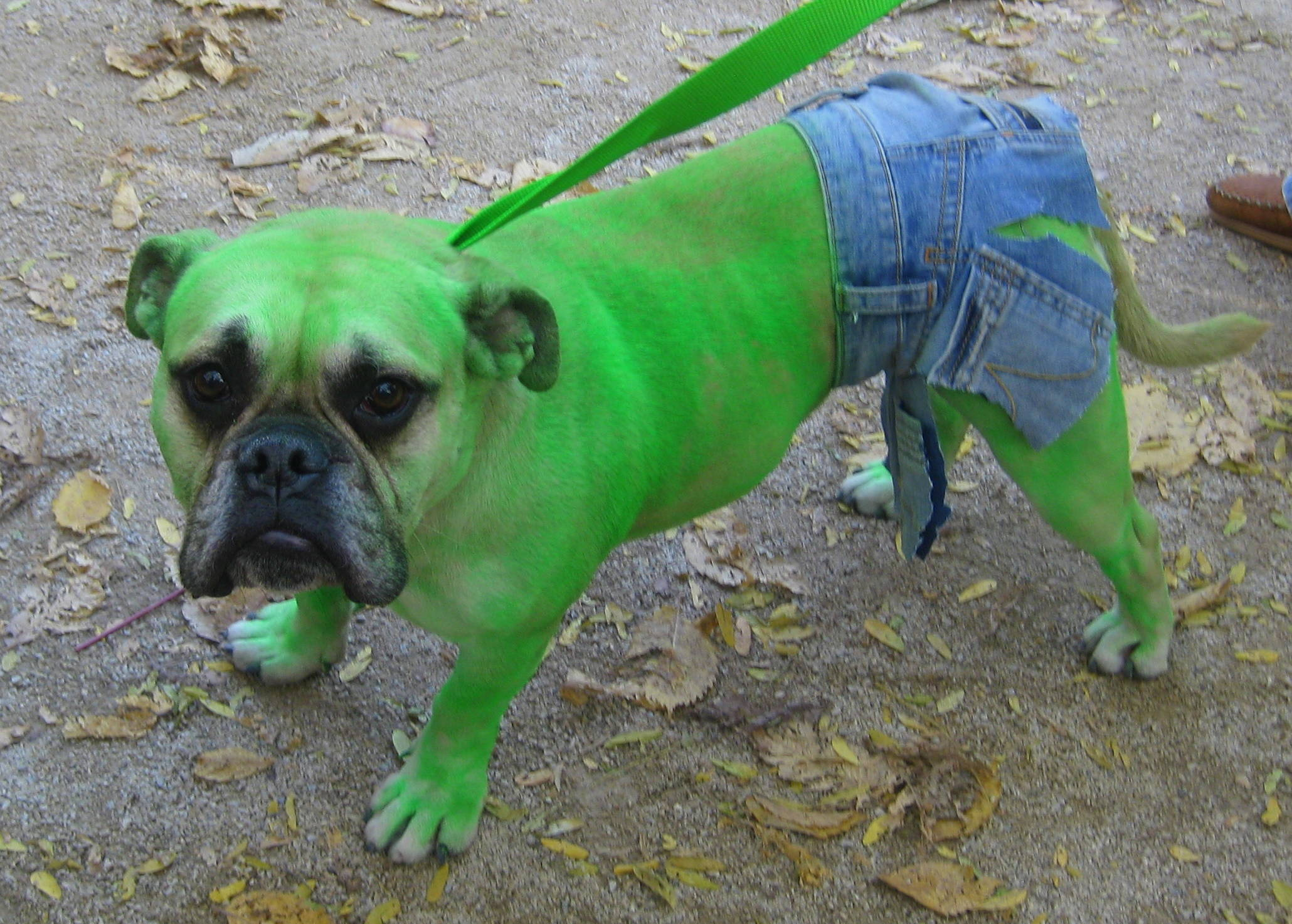 IMG_0348 & Top 10 Inventive Dog Halloween Costumes | Fuzzy Today