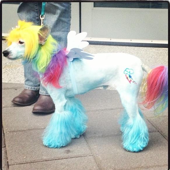 Rainbow-Dash-poodle