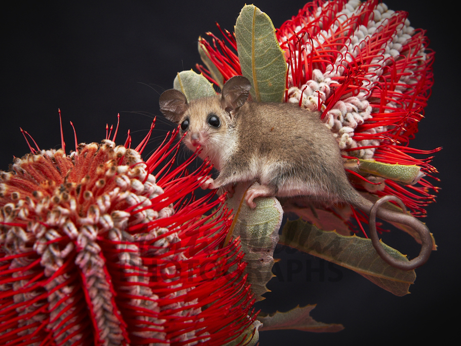 western-pygmy-possum-mrw0146