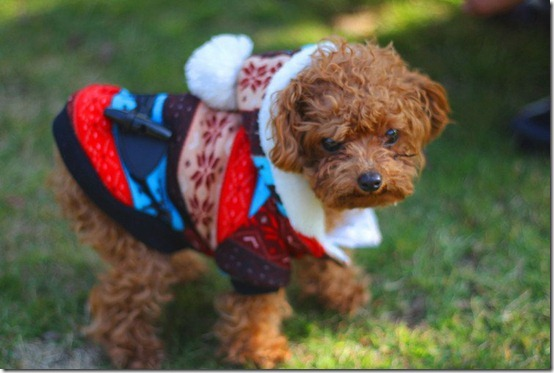 Cute-puppy-teddy-wearing-bright-colored-patter-04_thumb