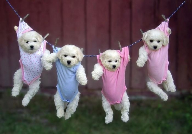 puppies-hanging-in-baby-clothes