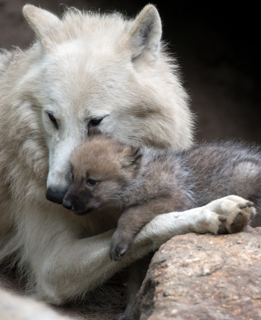 GERMANY-ANIMALS-ZOO-WOLF
